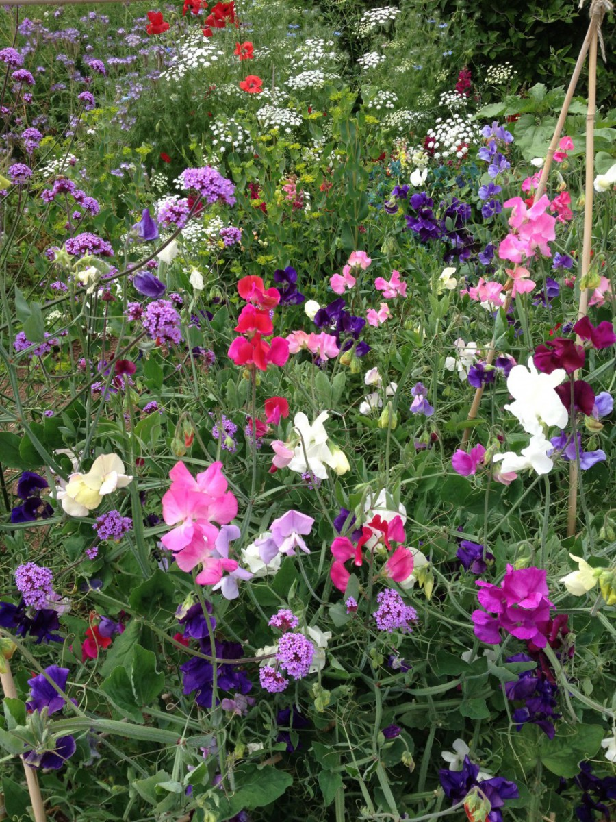 sweet pea cutting patch